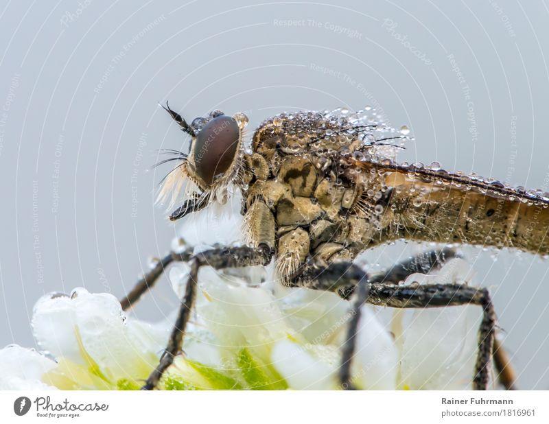 """Raubfliege im Morgentau Natur Pflanze Tier Fliege """"Raubfliege Insekt"""" 1 sitzen warten gruselig """"Blüte Tau Räuber Raubtier"""" Farbfoto Außenaufnahme Nahaufnahme"""