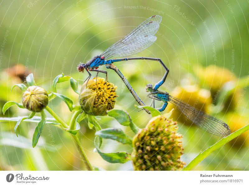 """Granataugenlibellen bei der Paarung """"Granataugenlibellen Libelle Libellen"""" 2 Tier Tierpaar Liebe Sex Glück Lust Natur Farbfoto Außenaufnahme Makroaufnahme"""