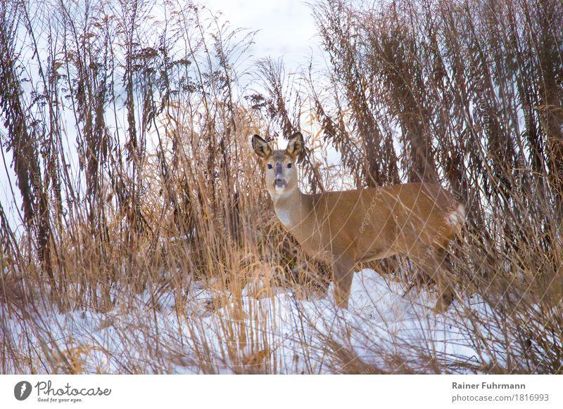 """ein Reh in winterlicher Landschaft Natur Pflanze Tier Wiese Feld """"Reh Ricke"""" 1 beobachten stehen warten Neugier """"Winter Schnee natürlich Tiere wildlife"""""""