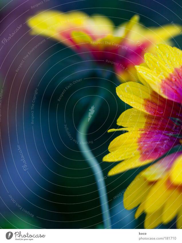 Spätsommer Natur Pflanze grün schön Sommer Blume rot schwarz gelb Leben Blüte Herbst Wachstum Wassertropfen Blühend