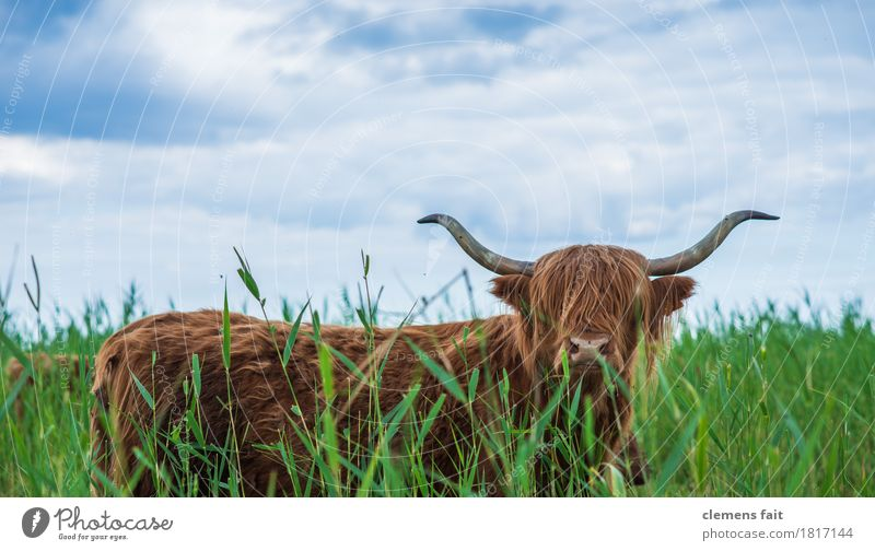 Schottisches Hochlandrind von Usedom Himmel blau Wiese Sträucher Rasen langhaarig Schilfrohr Fressen Horn Rind Bulle buschig Ochse Starrer Blick