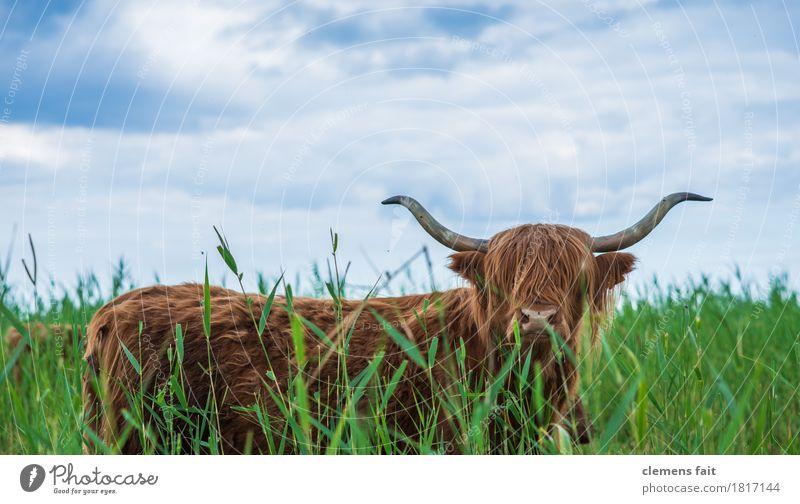 Schottisches Hochlandrind von Usedom Ochse Rind Bulle Horn Fressen blau Himmel Wiese Rasen Sträucher Schilfrohr Blick Starrer Blick buschig langhaarig