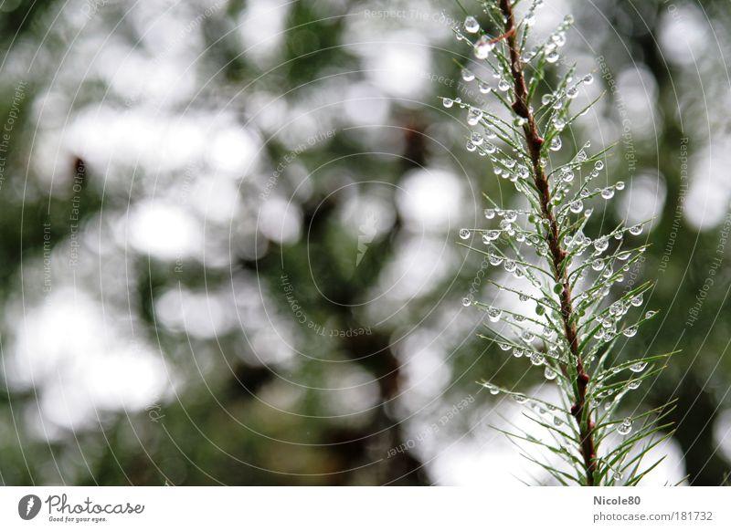 drops and pins Natur Wasser Baum grün Pflanze Wald Herbst Park Regen Umwelt nass zart Tanne Detailaufnahme schlechtes Wetter Nadelbaum