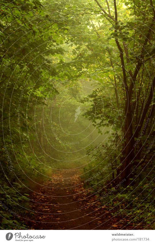 Herbstnebelwald Farbfoto Außenaufnahme Morgen Natur Pflanze Nebel Baum Wald Urwald Erholung natürlich grün ruhig Märchenwald Romantik feucht kalt fantastisch