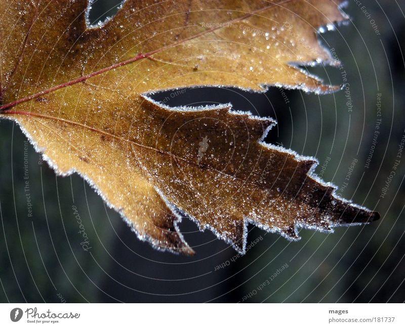 frostig alt Pflanze Blatt ruhig Winter Umwelt gelb Herbst glänzend Park Eis gold ästhetisch Vergänglichkeit Urelemente Frost