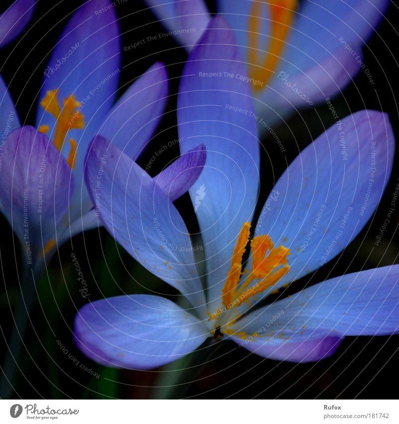 Blaue Welten im alltags ... Natur schön Blume blau Pflanze Sommer ruhig schwarz gelb kalt Blüte Frühling Freiheit Park Wärme Zufriedenheit
