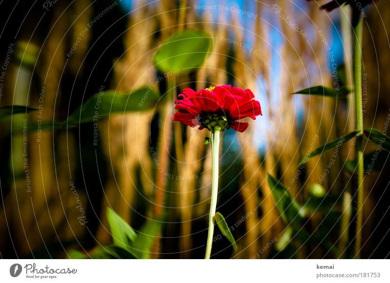 Rote Blume Umwelt Natur Pflanze Sonnenlicht Sommer Schönes Wetter Gras Sträucher Blüte Park Wiese Feld Blühend ästhetisch Fröhlichkeit frisch schön positiv