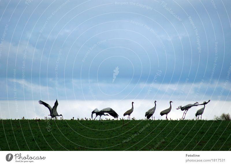Starterlaubnis erteilt Umwelt Natur Pflanze Tier Himmel Wolken Gras Feld Wildtier Vogel Flügel Tiergruppe Schwarm ästhetisch frei natürlich grau grün Kranich
