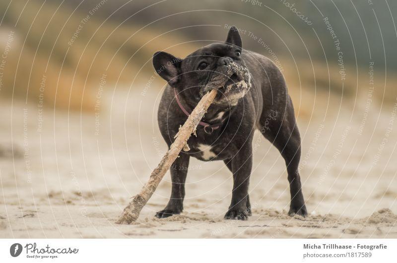 Französische Bulldogge mit Stöckchen am Strand Hund Natur Tier Freude natürlich Bewegung Holz Spielen Sand Erde dreckig Kraft stehen Fröhlichkeit Lebensfreude