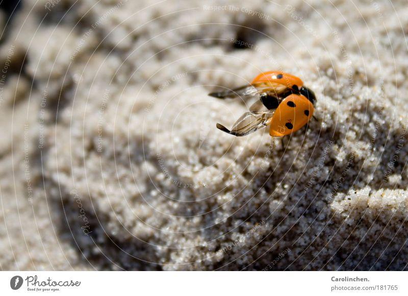 Kleine Nervensäge. Natur rot schwarz Tier Sand hell klein Umwelt Flügel Wildtier Schönes Wetter Nordsee Marienkäfer Käfer