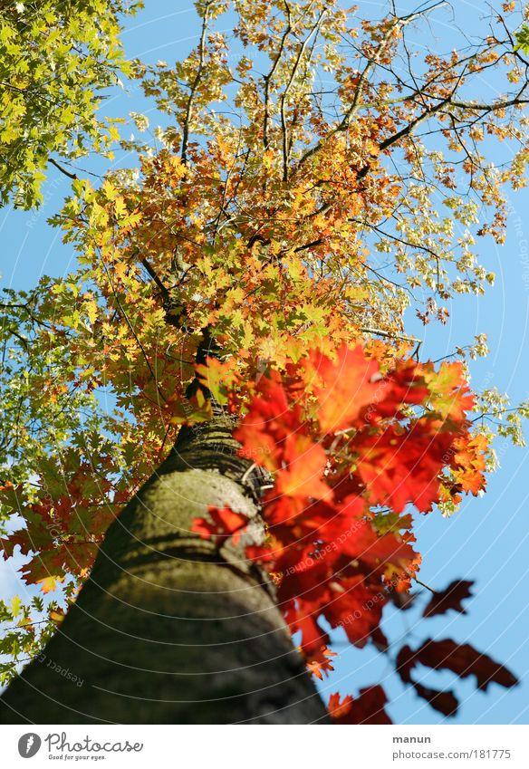 Herbstfeuer II Farbfoto mehrfarbig Außenaufnahme Tag Licht Schatten Kontrast Sonnenlicht Zentralperspektive Totale Sinnesorgane Natur Himmel Schönes Wetter Baum