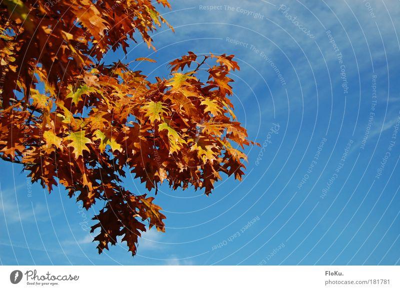 Summer moved on Natur Himmel Baum blau Pflanze Blatt gelb Herbst Wärme orange Umwelt gold Vergänglichkeit Schönes Wetter Herbstlaub Eiche