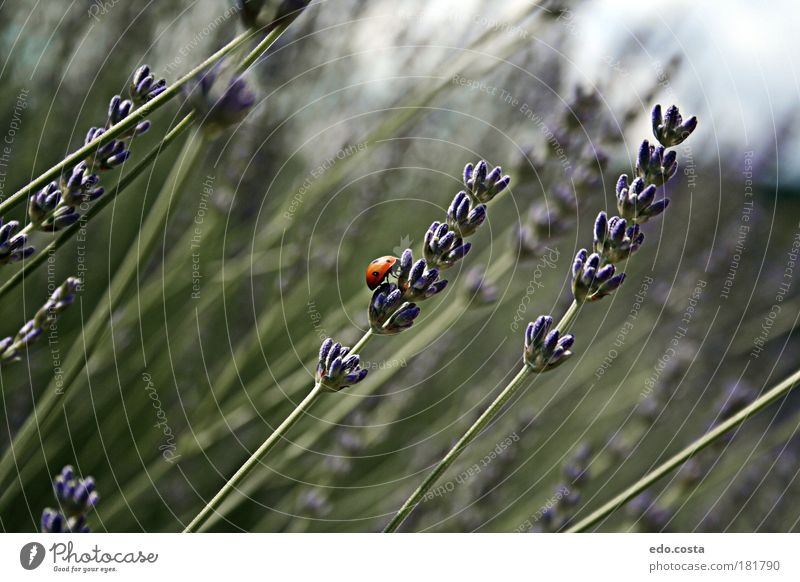 |Lady Bird. Farbfoto Außenaufnahme Makroaufnahme Menschenleer Morgen Starke Tiefenschärfe Zentralperspektive Tierporträt Natur Frühling Landschaft Wildtier