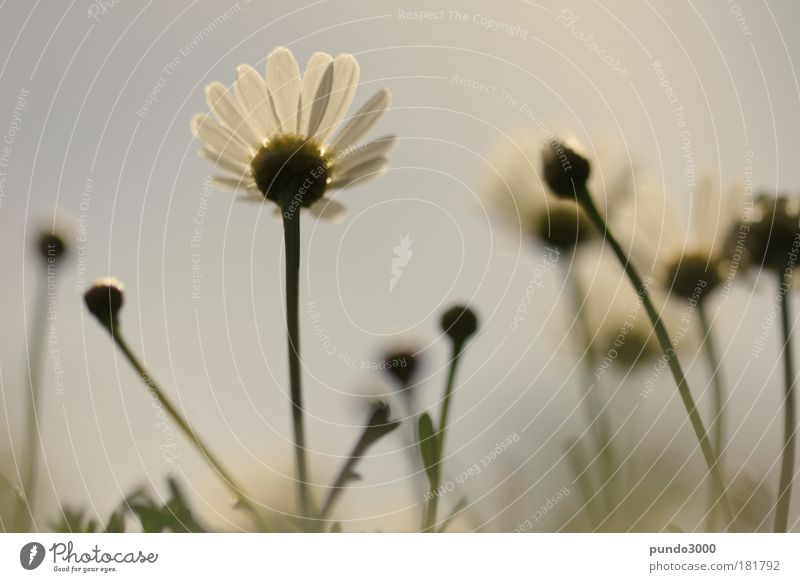 margeriten nach oben Gedeckte Farben Außenaufnahme Nahaufnahme Detailaufnahme Menschenleer Tag Unschärfe Schwache Tiefenschärfe Froschperspektive Pflanze Himmel