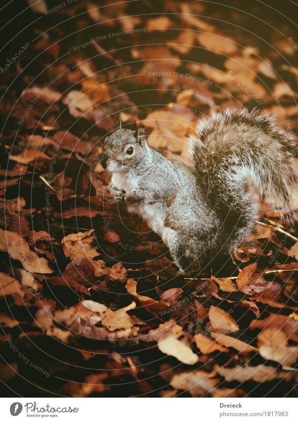 Grauhörnchen Umwelt Natur Herbst Blatt Park Wald Tier Wildtier Tiergesicht Fell Nagetiere Eichhörnchen 1 beobachten niedlich braun orange silber Farbfoto