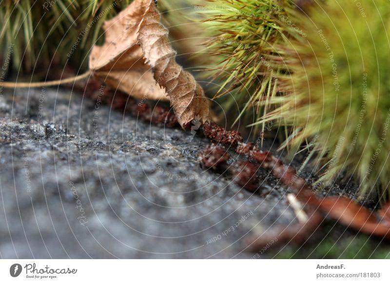 Igel Natur Baum grün Pflanze Blatt Straße Herbst Umwelt Erde liegen Spitze Pflastersteine Herbstlaub Kastanienbaum Maronen