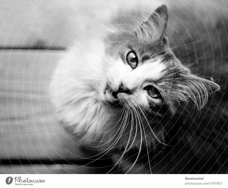 Miau Tier Haustier Katze Tiergesicht Fell Schnurrhaar Auge Ohr langhaarig Angorakatze Maul Gebiss Hauskatze Holzfußboden Dielenboden Blick schön Tierliebe Stolz