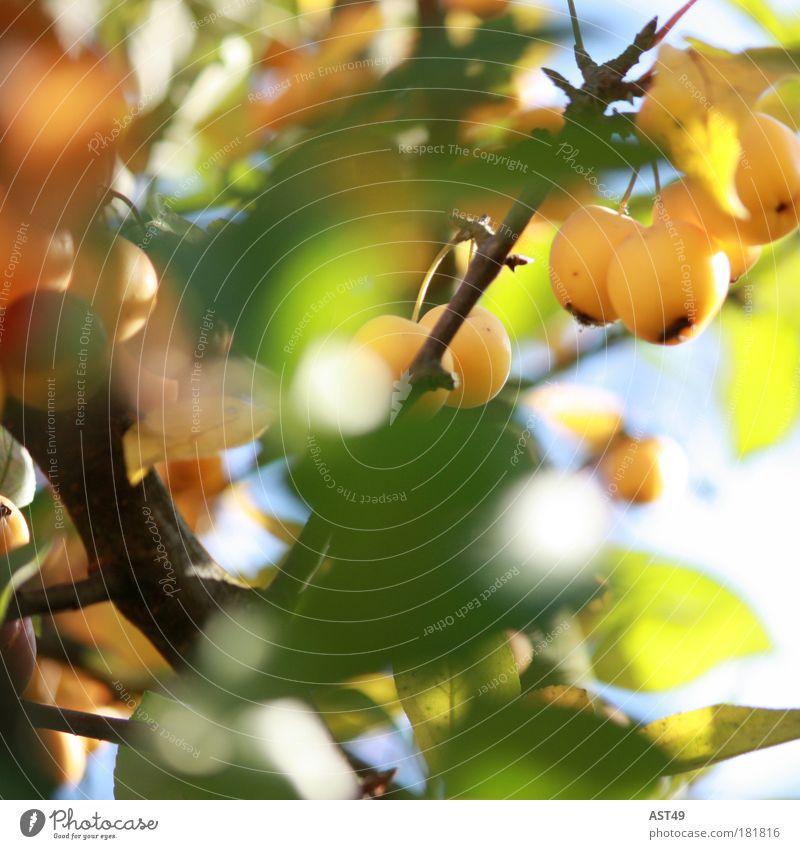 Zierapfel Natur Pflanze schön Sommer Sonne Erholung Blatt ruhig Freude Umwelt Wärme Frühling Herbst natürlich Garten Stimmung