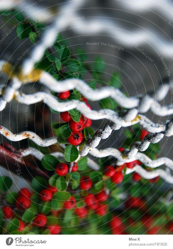 Gitter Farbfoto mehrfarbig Außenaufnahme Nahaufnahme Detailaufnahme Menschenleer Textfreiraum oben Tag Schwache Tiefenschärfe Natur Sommer Herbst Pflanze Blume