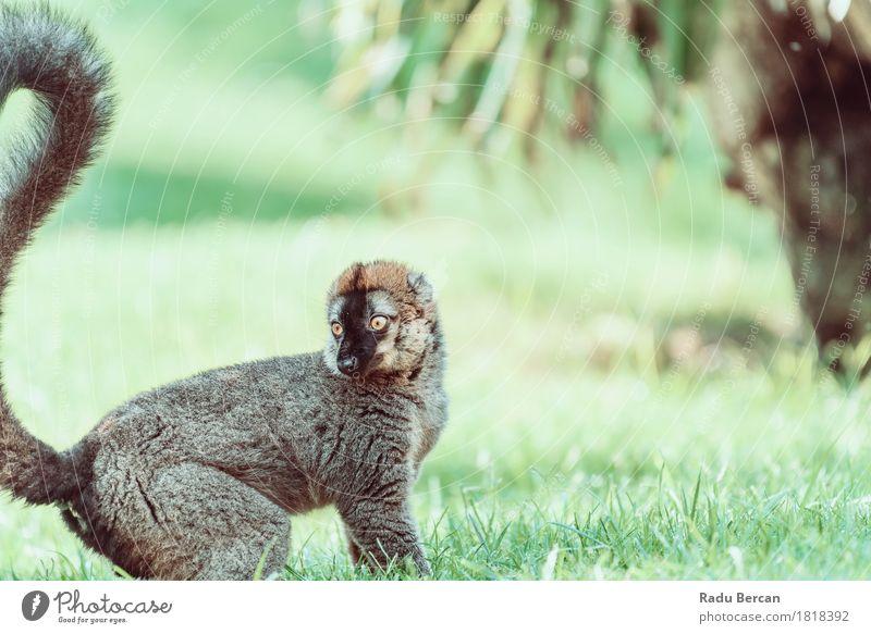 Lemur-Porträt auf Madagaskar-Insel Natur Sommer grün Tier Wald schwarz Gesicht Umwelt lustig wild Park Wildtier niedlich Afrika Tiergesicht