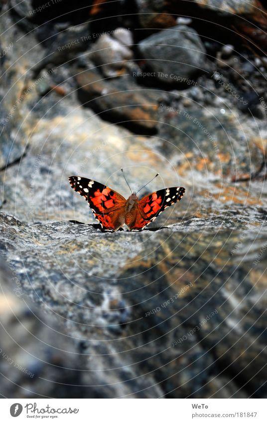 Flugwunder Natur Tier Felsen Morgen Pause einzigartig Schmetterling C-Falter Distelfalter