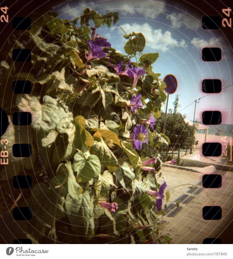 Trompetenblüten am Strand Himmel Wasser schön Pflanze Sommer Strand Meer Wolken Blatt Blüte Wärme Fröhlichkeit wild violett Lomografie Duft