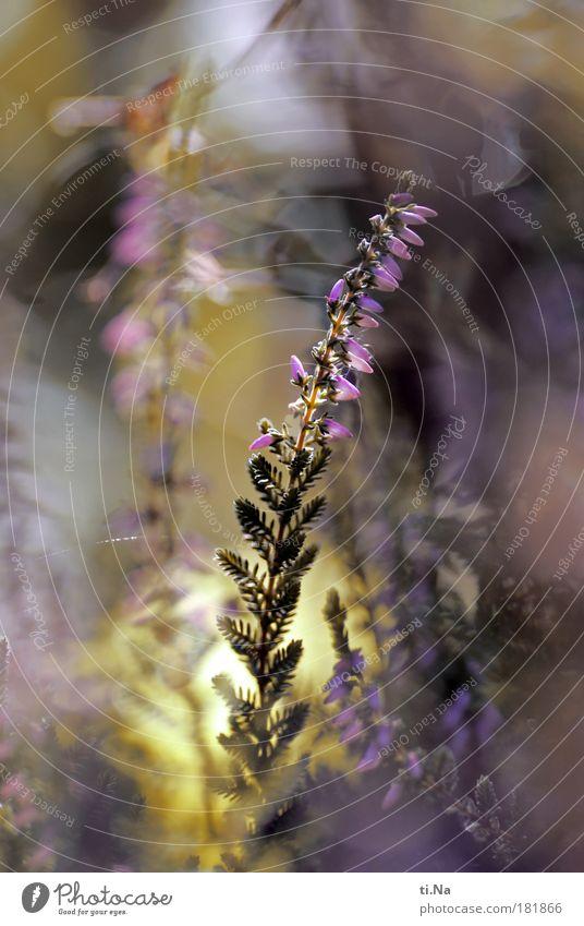Grünzeug eben Natur schön Blume grün Pflanze ruhig gelb Herbst Wiese Park Zufriedenheit Stimmung rosa Umwelt Wachstum Sträucher