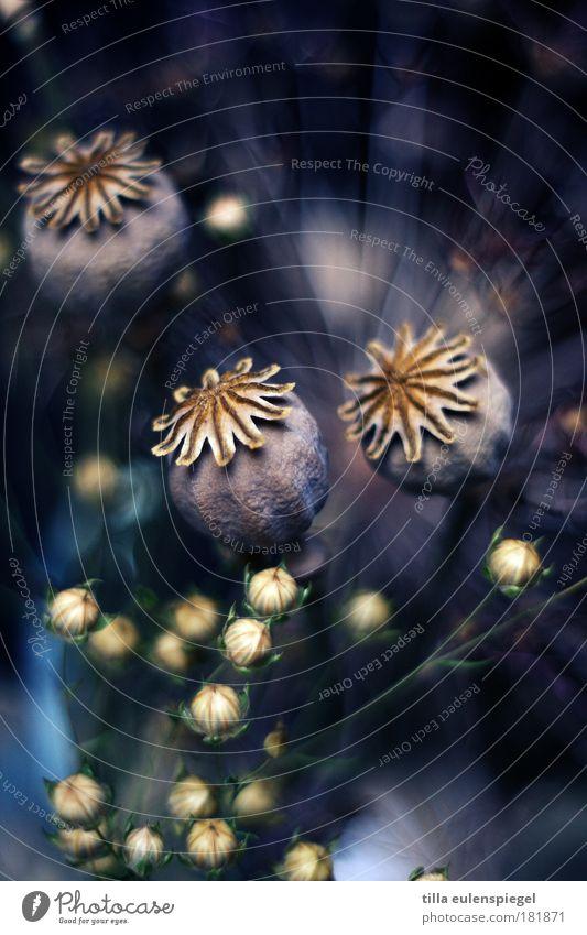 wer will nochmal? schön Blume blau Pflanze Farbe Herbst Gras Umwelt Vergänglichkeit natürlich außergewöhnlich Mohn Blumenstrauß trocken exotisch Farbenspiel