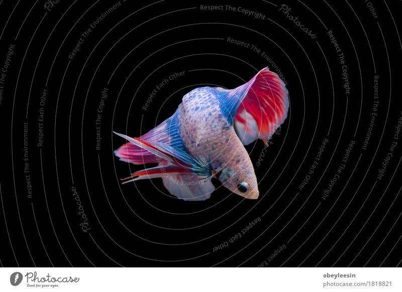 Siamesischer Kampffisch lokalisiert Kunst Natur Tier Haustier Nutztier 1 Abenteuer Farbfoto mehrfarbig Nahaufnahme Detailaufnahme Makroaufnahme Menschenleer