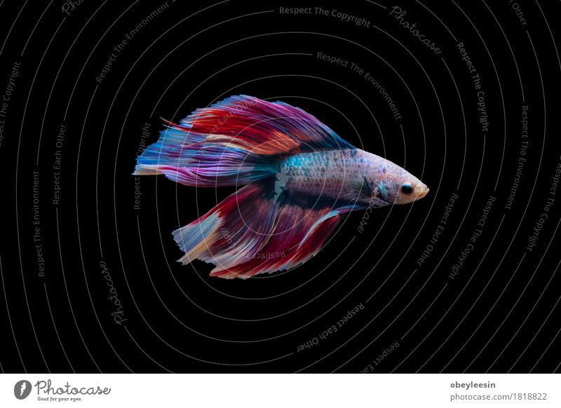 Siamesischer Kampffisch lokalisiert Kunst Natur Tier Haustier Nutztier Fisch 1 Abenteuer Farbfoto mehrfarbig Menschenleer Hintergrund neutral Tag Tierporträt