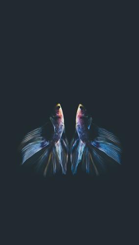 Siamesischer Kampffisch lokalisiert Lifestyle Tier Haustier Fisch 2 Angst Farbfoto Nahaufnahme Detailaufnahme Makroaufnahme Menschenleer Hintergrund neutral Tag