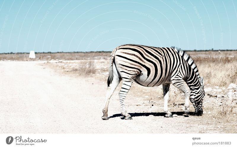 Zebrastreifen Himmel Ferien & Urlaub & Reisen Einsamkeit Tier Ferne Gras Freiheit Wege & Pfade Wüste Umwelt Abenteuer Afrika Klima Streifen Fell Wildtier