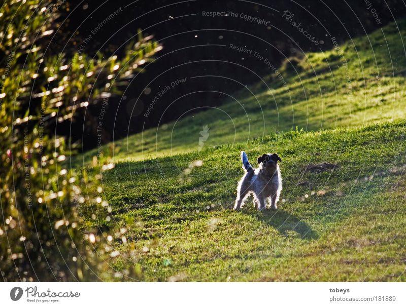 Stolz Hund Sommer Freude Tier Wiese Wärme Feld Zufriedenheit elegant stehen Fröhlichkeit Schönes Wetter leuchten Sträucher Neugier Schutz
