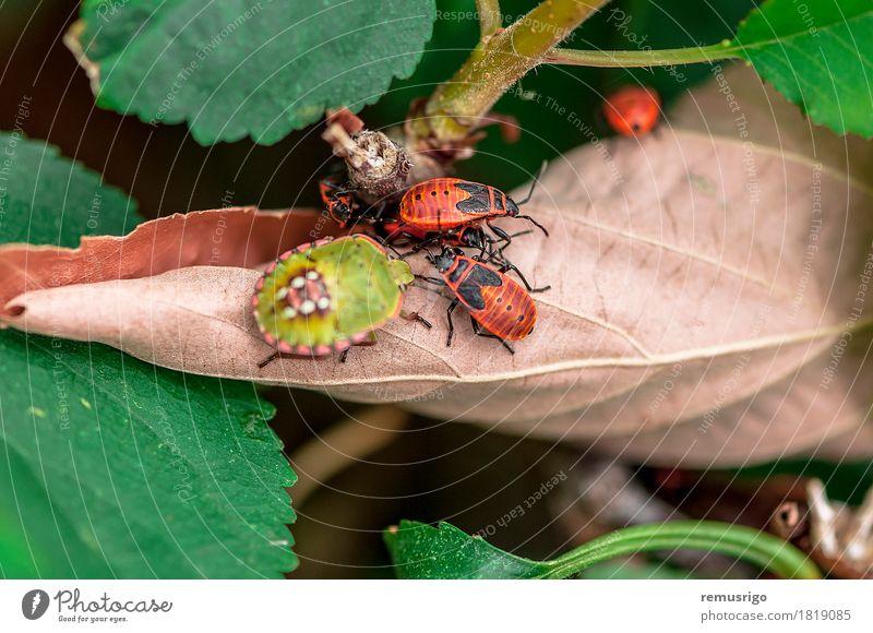 Ein paar Feuerwanzen Natur Blatt Bewegung gehen Arthropode Hintergrund Biologie Lebewesen Wanze Insekt Frühling Farbfoto Außenaufnahme Nahaufnahme