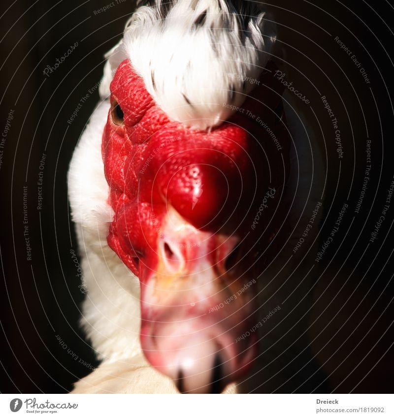 Warzenente Tier Vogel Tiergesicht Fell Ente Entenvögel 1 rot schwarz weiß Farbfoto Außenaufnahme Nahaufnahme Licht Schatten Kontrast Schwache Tiefenschärfe