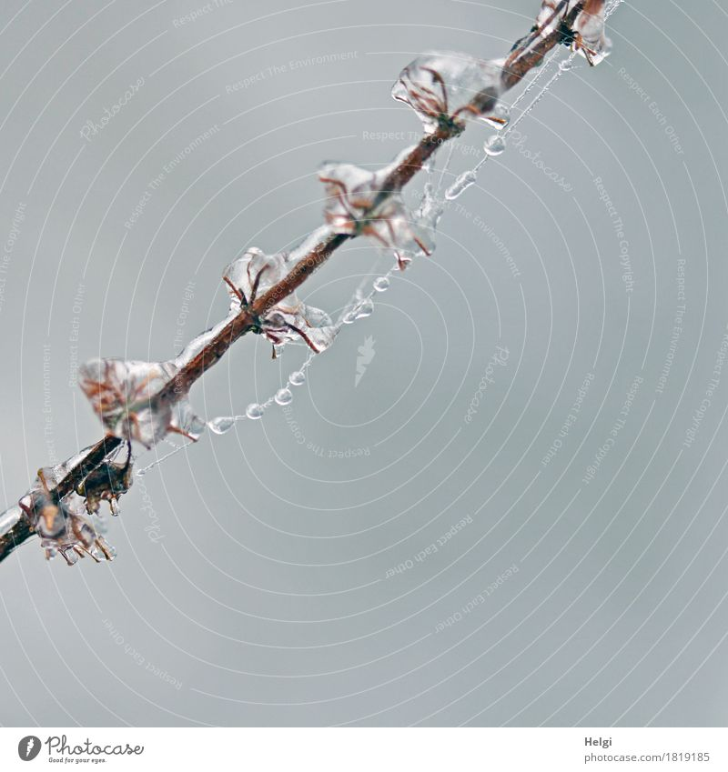 Eisperlen Umwelt Natur Pflanze Winter Frost Wildpflanze Stengel Feld festhalten frieren hängen ästhetisch außergewöhnlich kalt klein natürlich braun grau weiß
