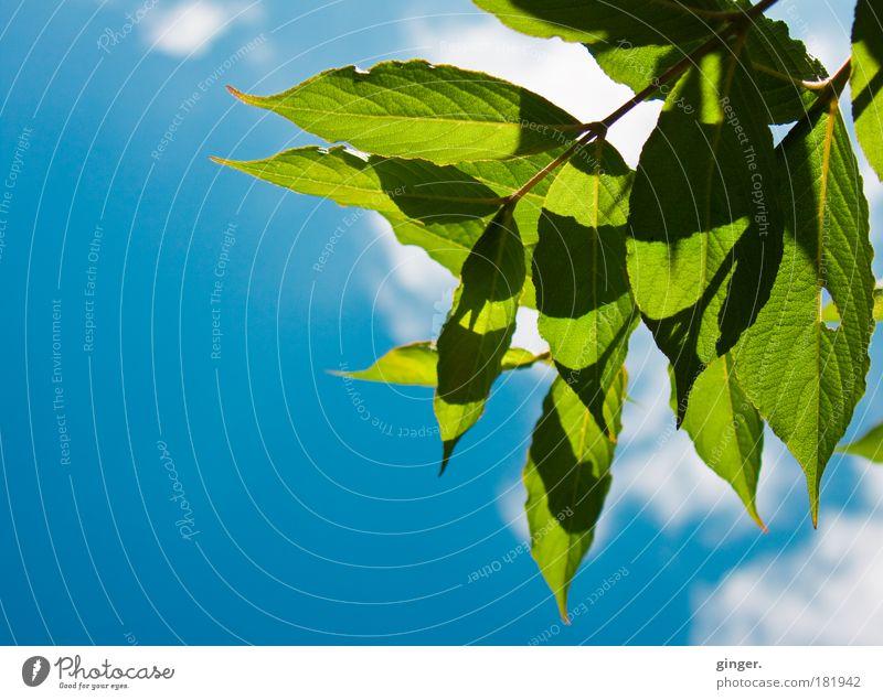 Blattwerk Natur Pflanze Himmel Sommer blau grün weiß Sonnenlicht schön Schatten Ast Wolken Menschenleer Blattgrün Farbfoto Außenaufnahme Textfreiraum links Tag