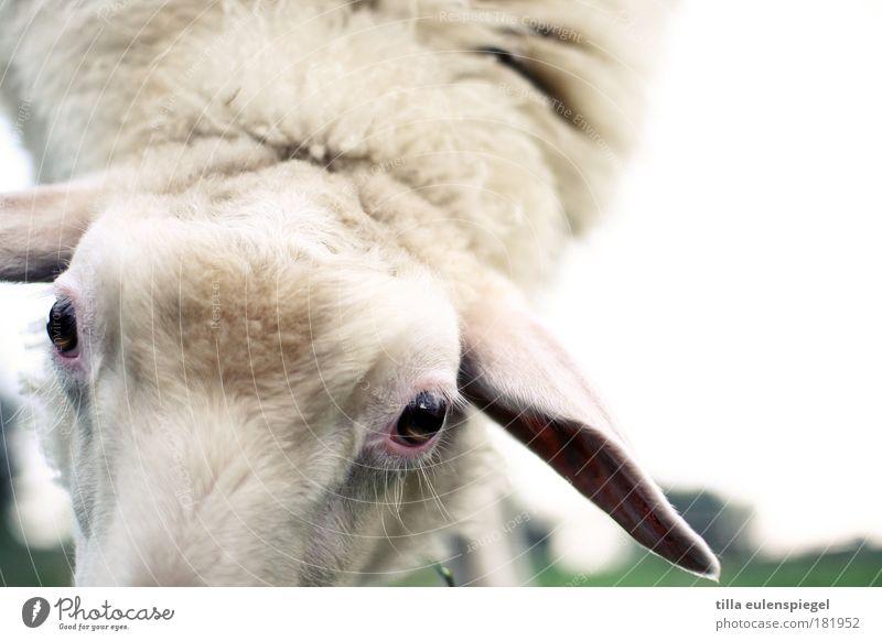 mäharbeiten. Natur weiß Auge Ernährung Tier Wiese Umwelt weich Tiergesicht natürlich Fell Schaf Nutztier