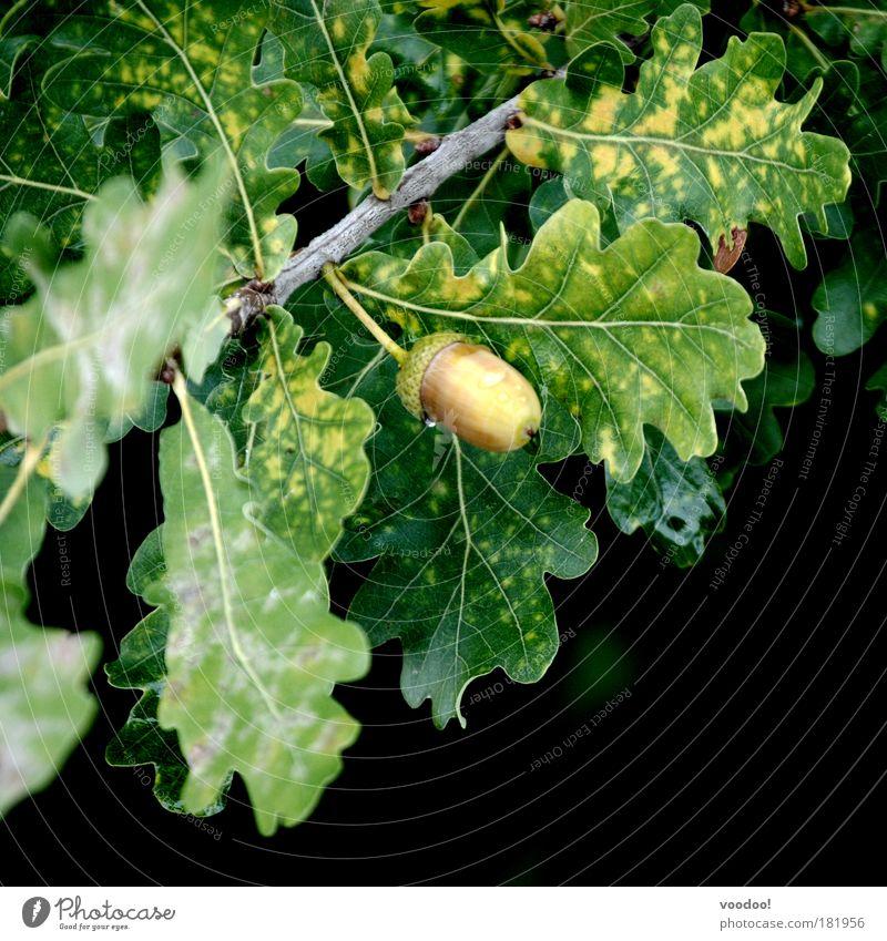 Scrats Liebling!!! (Reif für die Eiszeit!) Natur grün Baum Pflanze Blatt schwarz Ernährung Ast hängen Bioprodukte Tau Eichhörnchen Vegetarische Ernährung Eiche