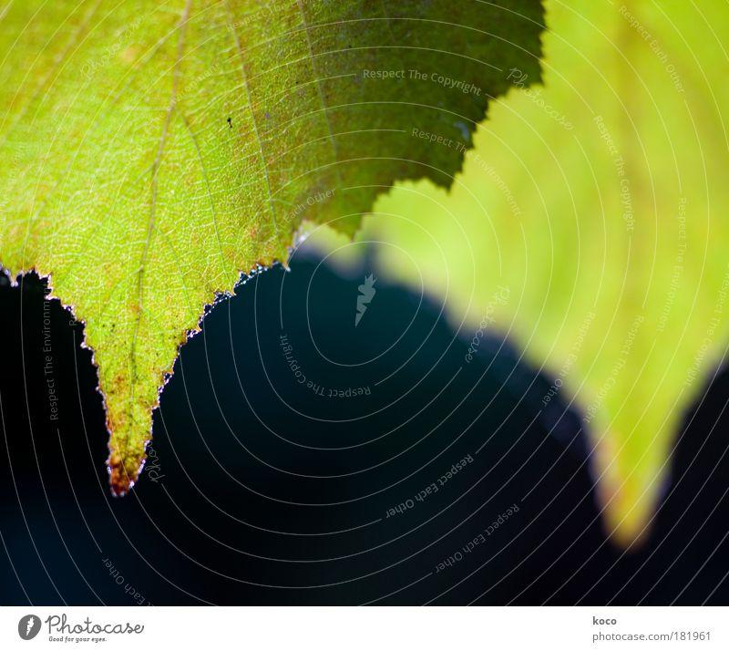 zwei Farbfoto Außenaufnahme Nahaufnahme Makroaufnahme Menschenleer Textfreiraum Mitte Morgen Tag Licht Kontrast Gegenlicht Schwache Tiefenschärfe Natur Pflanze
