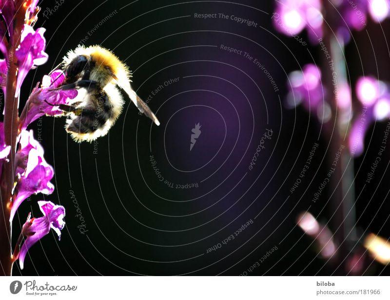 Ende Sommer und immer noch Bienen... Natur Pflanze Tier schwarz Blüte braun Wildtier wild natürlich Flügel weich violett Duft Nutztier