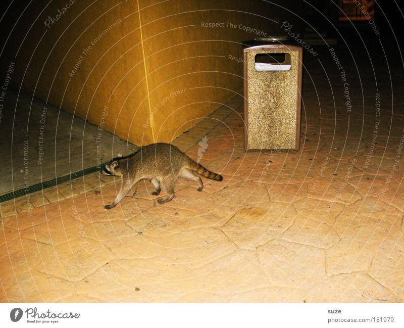 Nachteule Haus Platz Fassade Fell Tier Wildtier Waschbär 1 dunkel lustig niedlich Wand Plage Landraubtier Säugetier schleichen Müll Müllbehälter Spaziergang