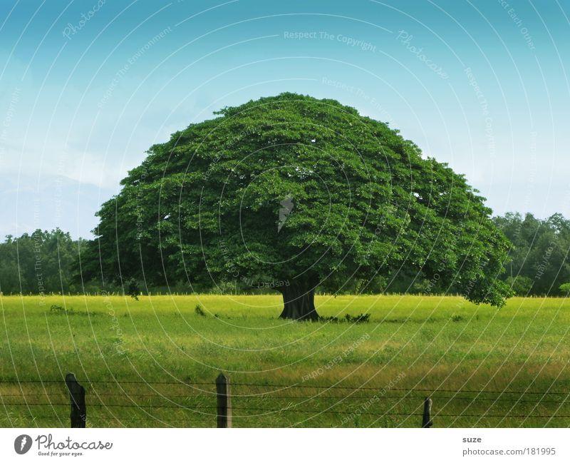 Lebensbaum Himmel Natur blau alt grün Baum Pflanze Sommer ruhig Umwelt Landschaft gelb Wiese Leben Zeit groß