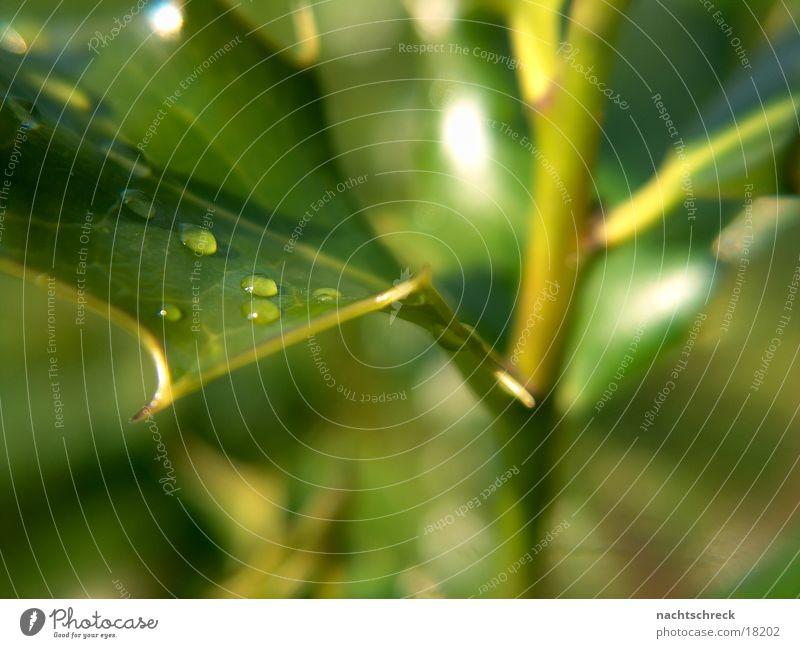 Tropfen Pflanze Sukkulenten grün Wassertropfen Piekser Regen Garten Makroaufnahme