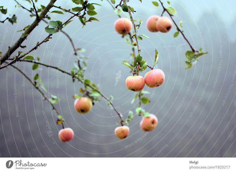 Restbestände... Lebensmittel Apfel Umwelt Natur Pflanze Herbst Nebel Baum Blatt Apfelbaum Zweig Feld hängen Wachstum authentisch frisch einzigartig kalt lecker