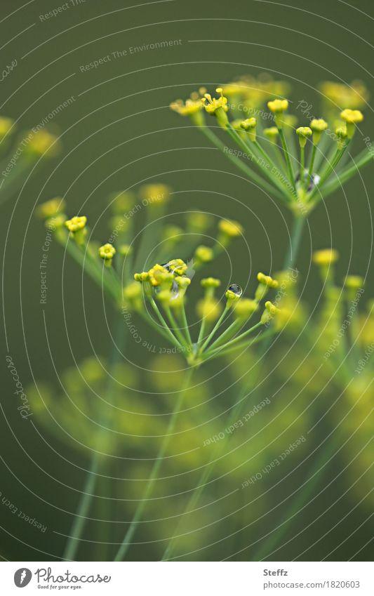 wer Dill sät.. Lebensmittel Kräuter & Gewürze Natur Sommer Pflanze Nutzpflanze Dillblüten Gartenpflanzen Blühend nah natürlich schön gelb grün Wind grün-gelb