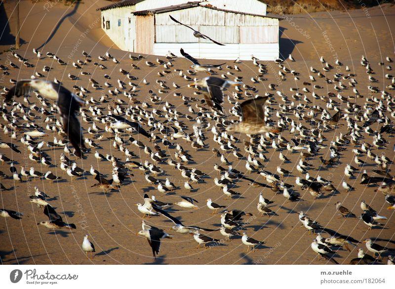 atlantic_birds Natur weiß Meer Pflanze Tier Landschaft Vogel Küste fliegen Tiergruppe Flügel Wildtier Seeufer Möwe Menschenleer Portugal