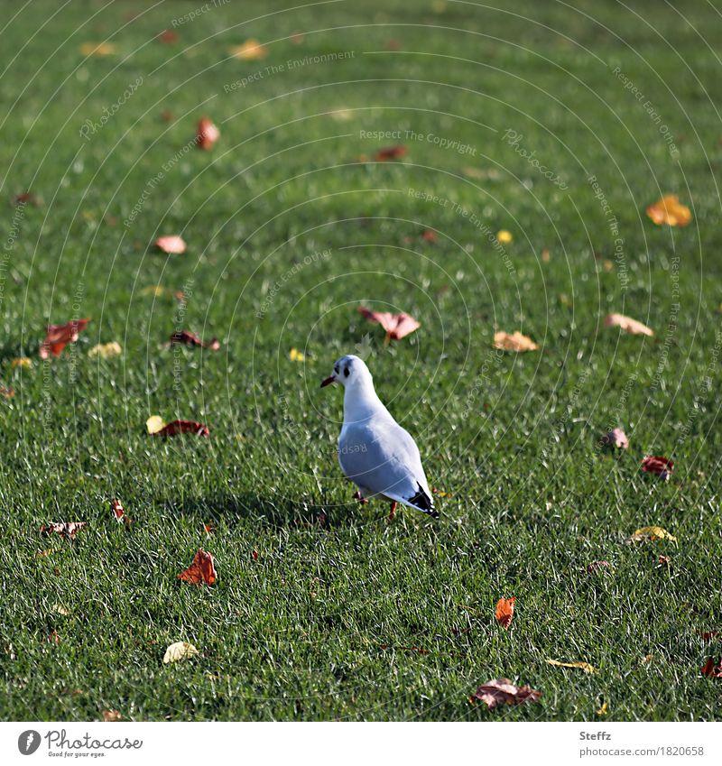 keep going Möwe Rasen Herbstlaub Wildvogel Vogel gehen zu Fuß quer durch Oktober herbstliche Impression Herbstblätter Futtersuche Spaziergang Herbststimmung