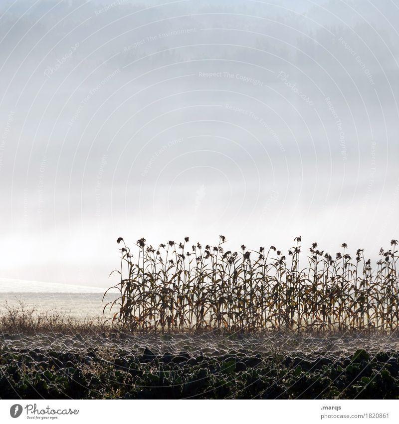 Sonnenblumen Umwelt Natur Landschaft Pflanze Urelemente Erde Himmel Herbst Nebel Blume Feld kalt Stimmung Frost Farbfoto Gedeckte Farben Außenaufnahme
