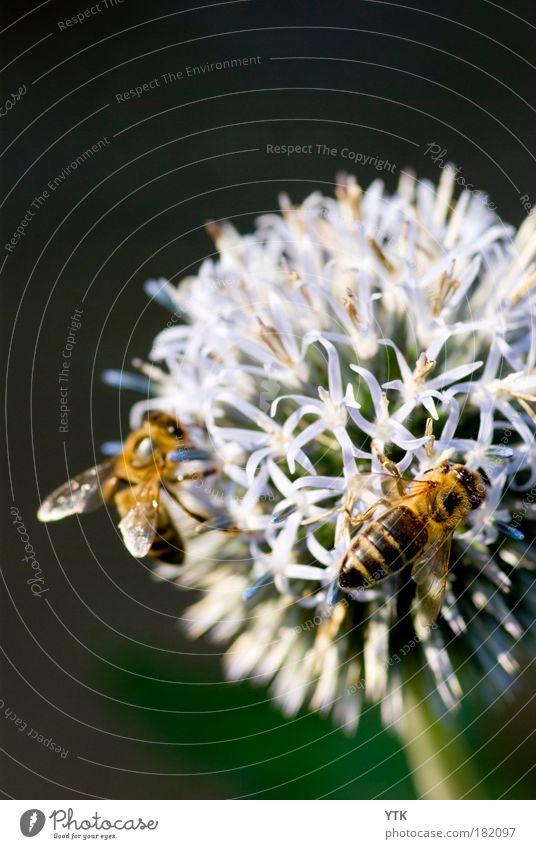 Erwin! mach vorsichtig bei der Landung, hier isses stachelig! Natur Pflanze Sommer schwarz Tier Wiese Blüte Luft Tierpaar Umwelt fliegen gold Tiergruppe Klima